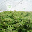 Large Indoor Marijuana Commercial Growing Operation With Fans, Greenhouse, Equipment For Growing High Quality Herb. Cannabis Field Growing For Legal Recreational Use in Washington State
